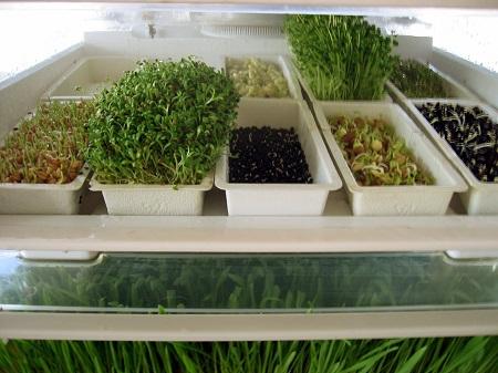 Diététique express : les graines germées dans vos assiettes permettent une alimentation saine pour être en forme et vivre longtemps