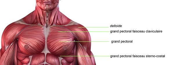 planche_anatomique_des_pectoraux-pectoraux